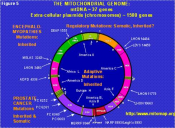 Mitochondrial DNA mutations affect male and female fertility and ageing