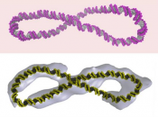 Supercoiled DNA is far more dynamic than the 'Watson-Crick' double helix