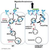 Integrin trafficking!