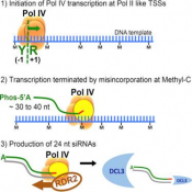 A one precursor one siRNA model for pol IV-dependent siRNA biogenesis