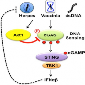 Anti-viral immune response mechanism!