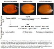 Mechanism of seed germination and seedling growth